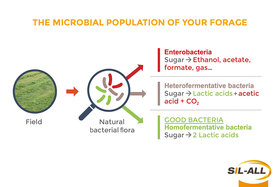The microbial population of your forage